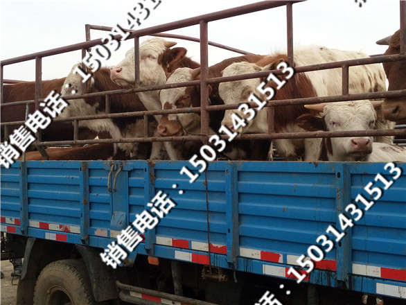 肉牛销售市场
