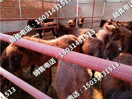 肉驴品种中