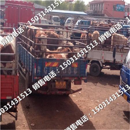 河北黄牛市场