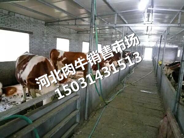 西门塔尔母牛